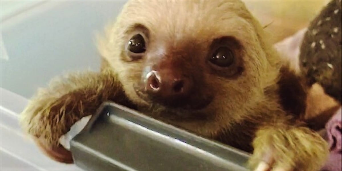 Closeup of rescued baby sloth in Limon Costa Rica