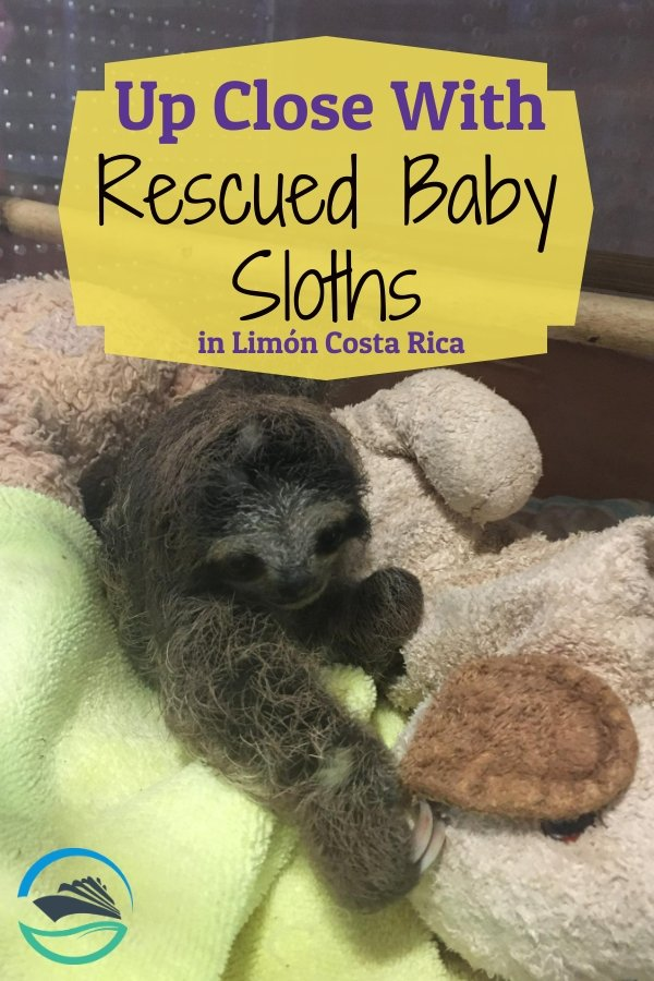 Up Close with Rescued Baby Sloths in Limon Costa Rica