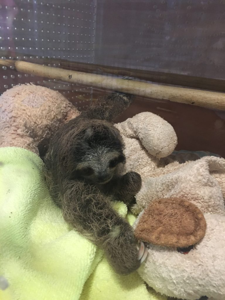 Baby Bradypus sloth with cuddly toys